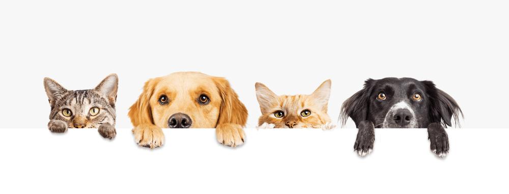 Les dangers de la piqûre de tique chien chat